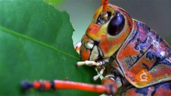 closeup of a large cricket eating a leaf