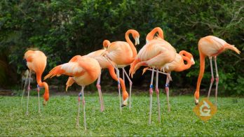 flamingos gather in a group to eat food