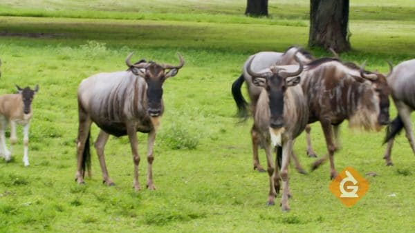 wildebeest eat grass in a group
