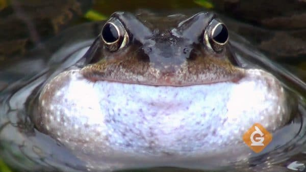 close up of a frog in the water using its sense of hearing
