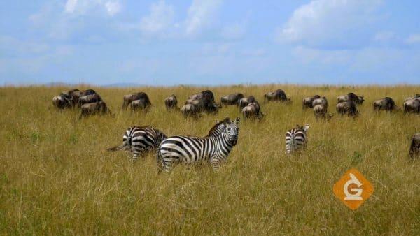 zebras in a Savannah ecosystem