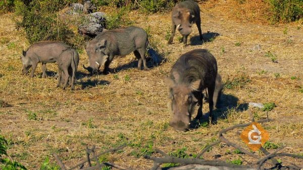 feral pigs eating grass which are an invasive species