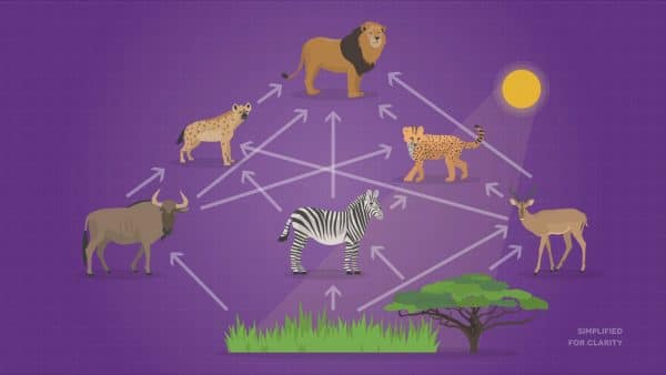 Here's the difference between food chains and food webs