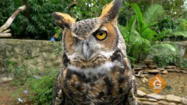 The horned owl is a predator on the food web