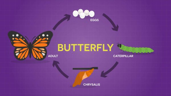 diagram of a butterfly life cycle for kids