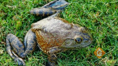 Learn the stages of life for an African Bullfrog