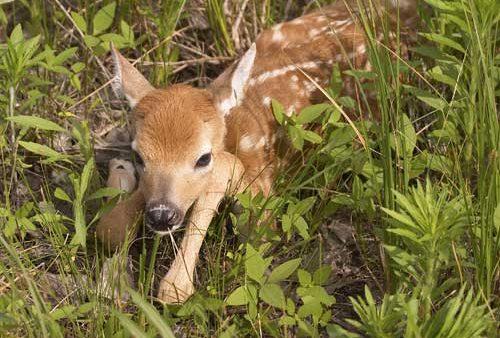 baby deer sitting in grass