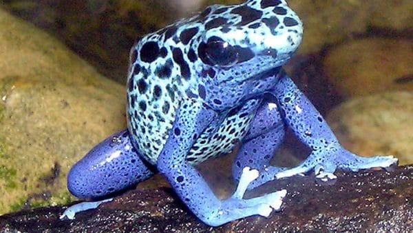 Poison dart frogs have these survival traits