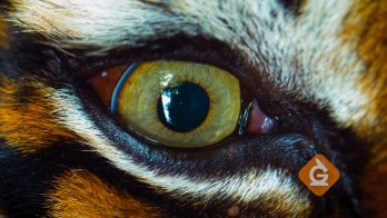 closeup of a tiger's eyes