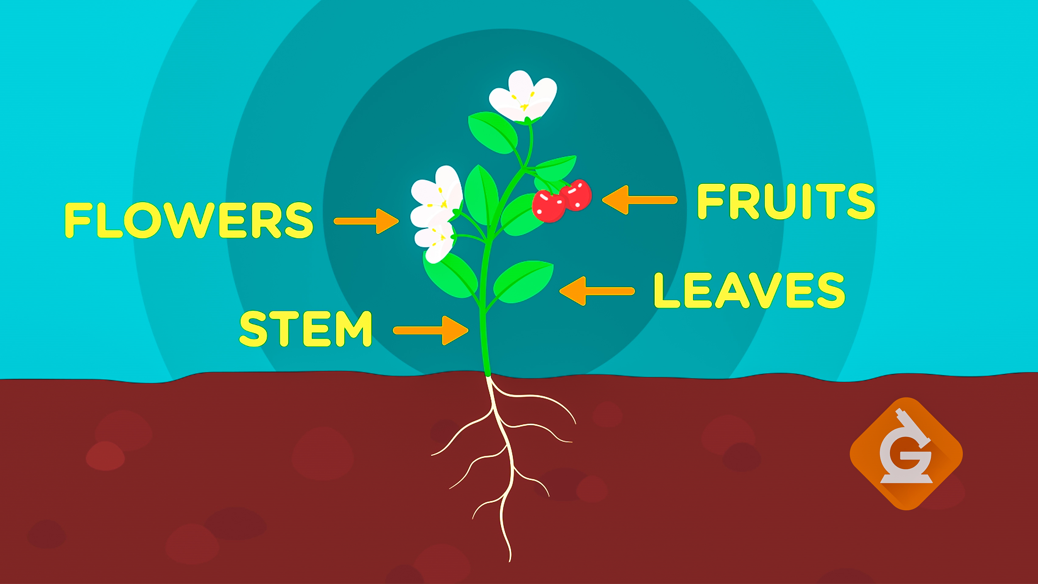 diagram of the 5 parts of a plant