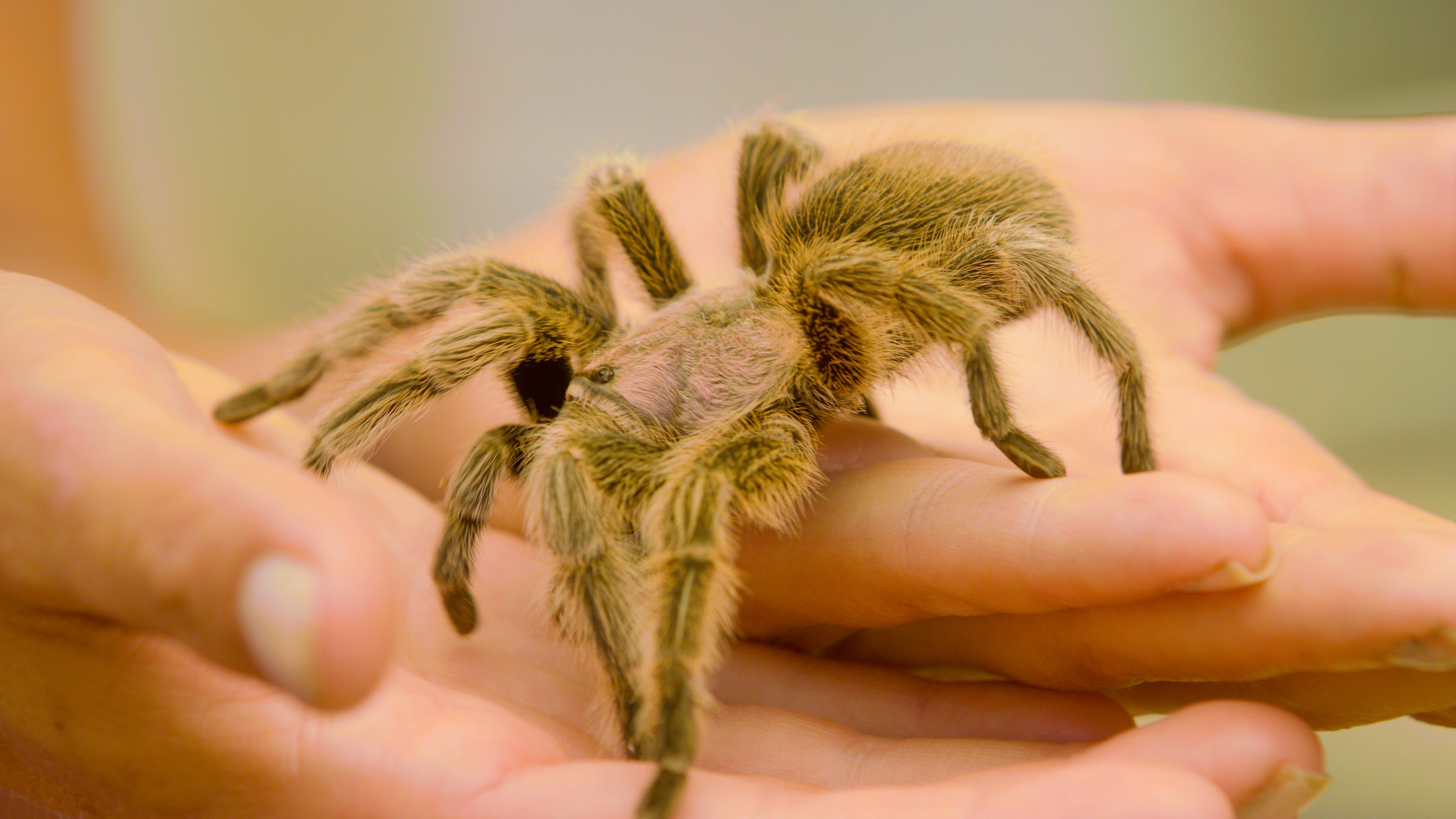 light tarantula walking on hand with its legs