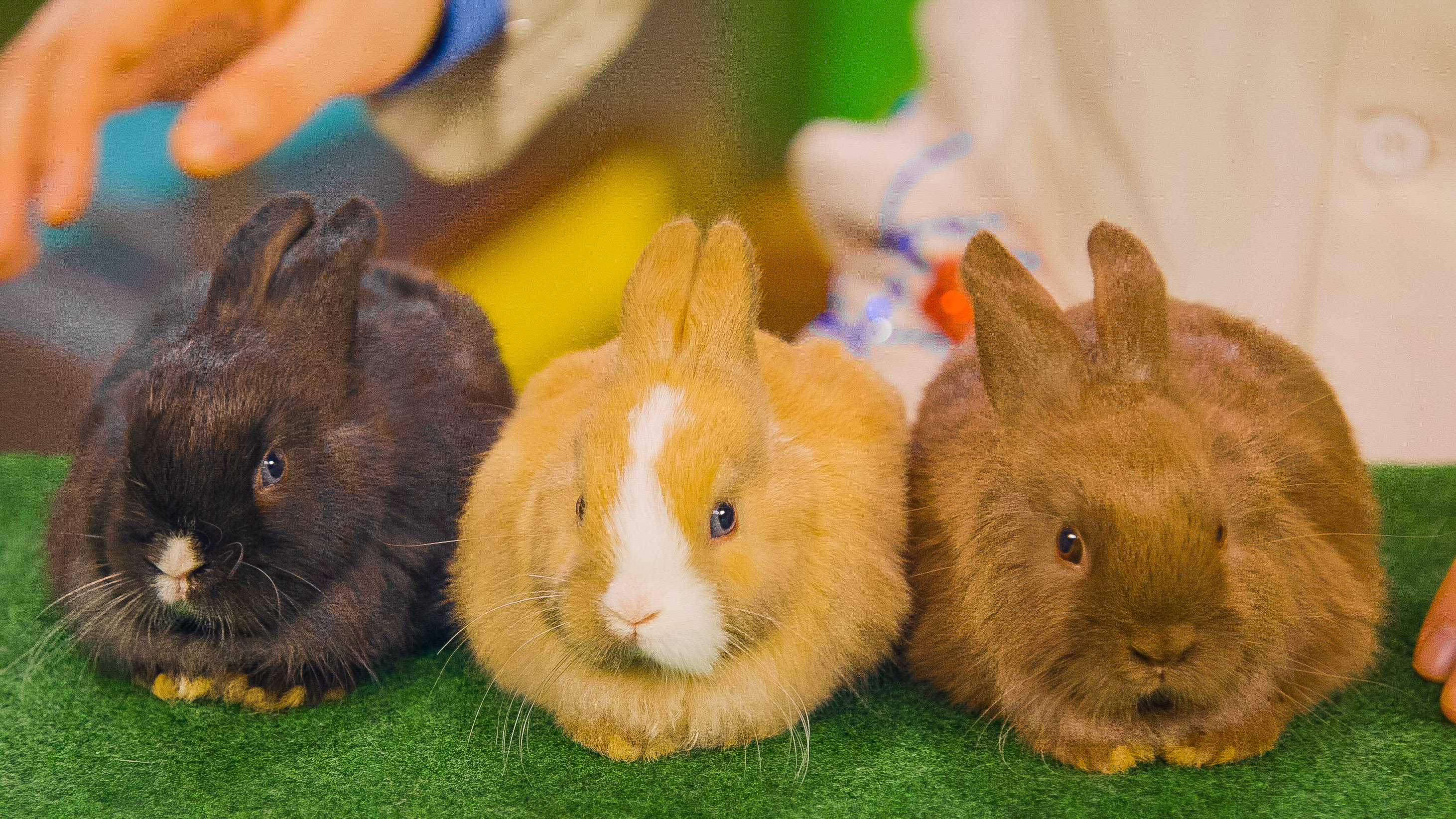 comparing the inherited traits of three bunny rabbits of different color