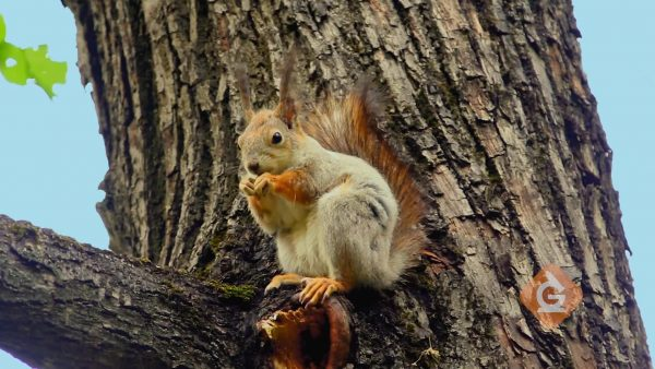 squirrel eating an acorn up in a tree