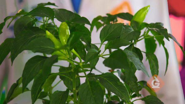 closeup of green pepper plant