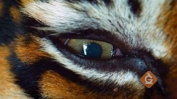 closeup of a tiger's eye squinting