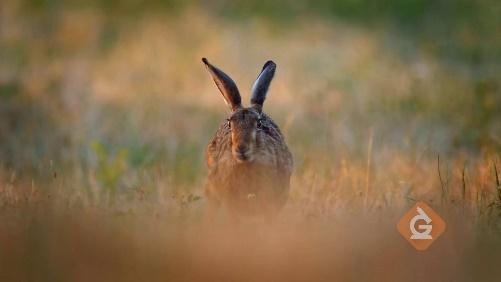 rabbit uses its sense of hearing to sense danger