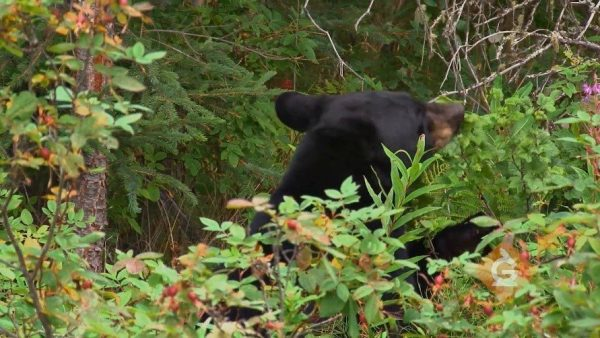bear eats berries in the forest