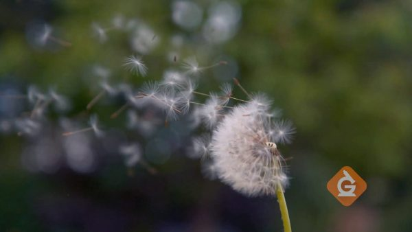 dandelion seeds are dispersed in the wind
