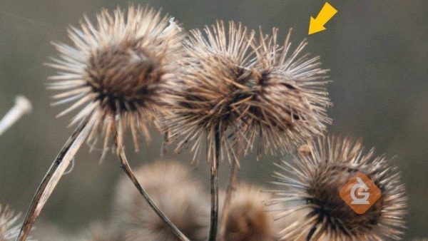seeds of the cockle bur plant which can stick to animal fur