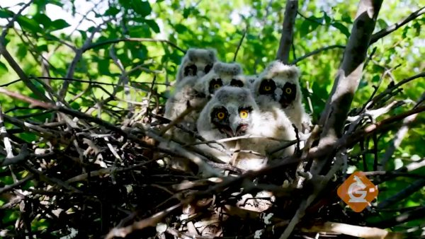 nest of baby owls in the forest