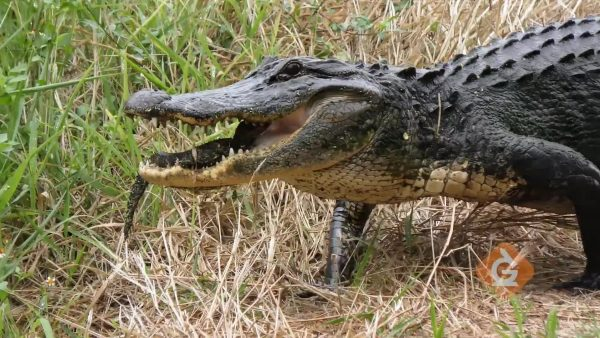 alligator protects babies in its mouth