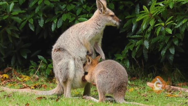 kangaroo drinks milk inside the pouch of its mother