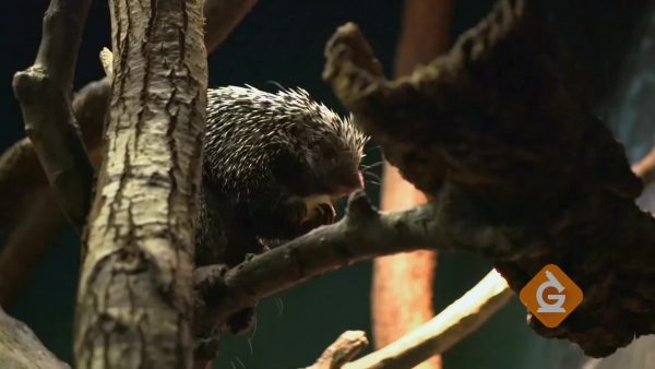 porcupine eating in a tree