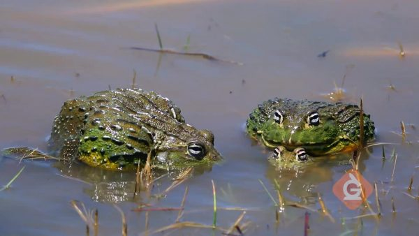 frogs sit in a pond environment