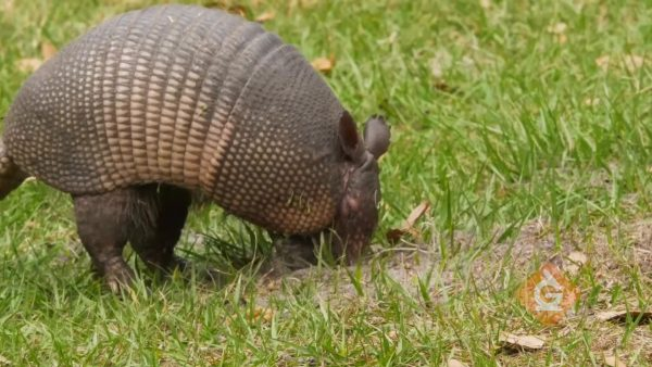 armadillo digging in the ground with claws