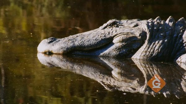alligator sun bathing in a river habitat