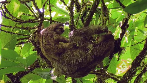 sloth climbs in the jungle