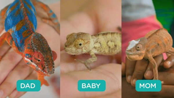 comparing the inherited traits of three chameleons