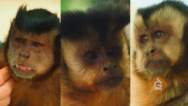 comparing the hair color and patterns of three monkeys