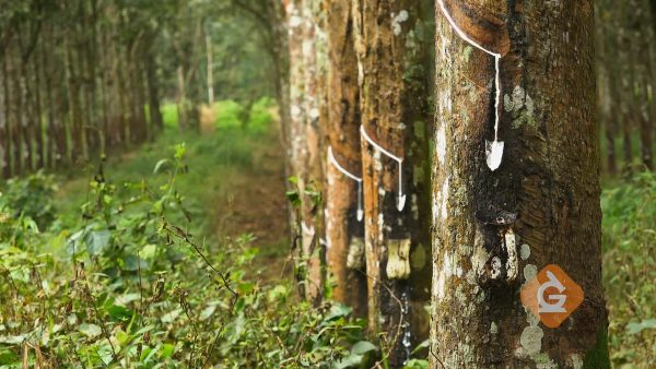 natural rubber liquid dripping from rubber trees